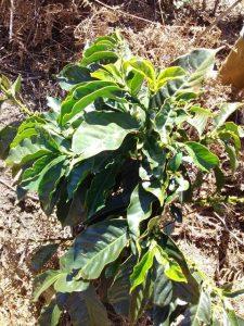 coffee-plantation