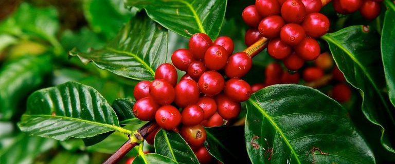 Kieni coffee: The Coffee Collective's roastery