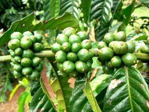 Coffee Producing Countries - Uganda 3
