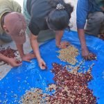 Coffee Producing Countries: Guatemala 6