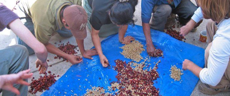 Coffee Producing Countries: Guatemala